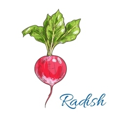 Red radish vegetable sketch for farming design vector
