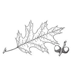 Branch of eastern black oak vintage vector