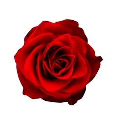 Realistic Red Rose High Quality vector image vector image