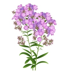 Phlox flowers vector