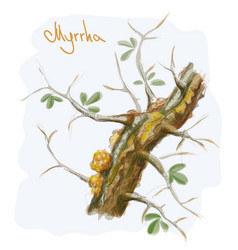 commiphora myrrha tree with resin watercolor vector image