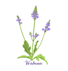 Flowering herb verbena or vervain vector
