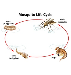 The life cycle of a mosquito vector
