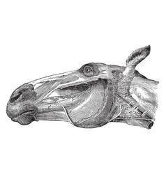 Parotid and molar glands of a horse vintage vector
