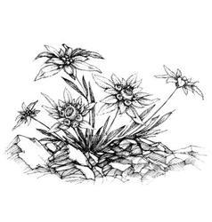 Edelweiss etch vector
