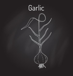 garlic plant kitchen herbs collection vector image vector image