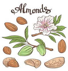 Almonds with kernels leaves and flower vector image