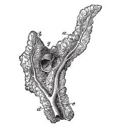 Pancreas of a horse vintage vector