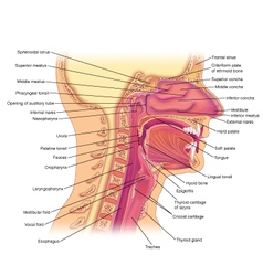 Oral cavity side view vector