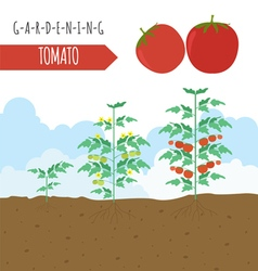Gardening work farming infographi tomato graphic vector