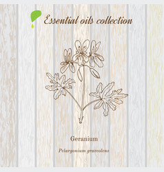 Geranium essential oil label aromatic plant vector