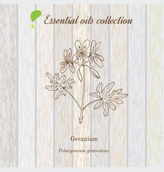 Geranium essential oil label aromatic plant vector