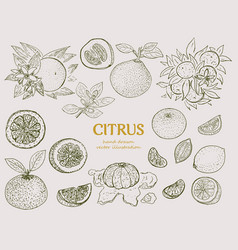 hand drawn citrus botanical set vector image vector image