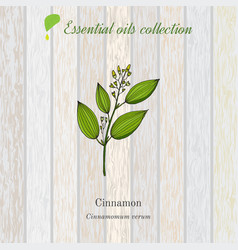 Cinnamon essential oil label aromatic plant vector