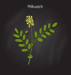 Milkvetch astragalus medicinal plant vector
