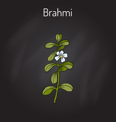 Brahmi bacopa monnieri or waterhyssop vector