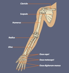 Human arm skeletal anatomy vector