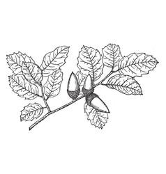 Branch of coast live oak vintage vector