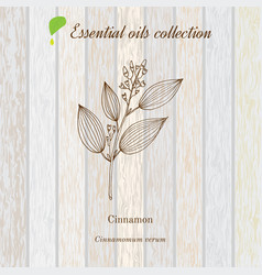 Cinnamon essential oil label aromatic plant vector