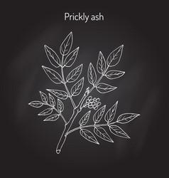 Prickly ash zanthoxylum americanum vector