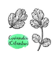 Coriander ink sketch vector