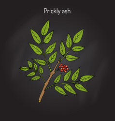 prickly ash zanthoxylum americanum vector image