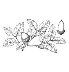 Branch of canyon live oak vintage vector