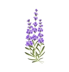Bunch of lavender flowers on a white background vector