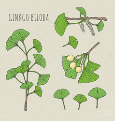 collection ginkgo biloba vector image vector image