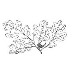 Branch of garry oak vintage vector