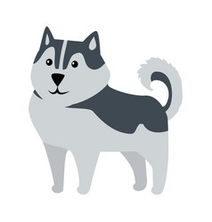 siberian husky medium size dog breed isolated vector image