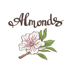 Almond flower hand drawn vector