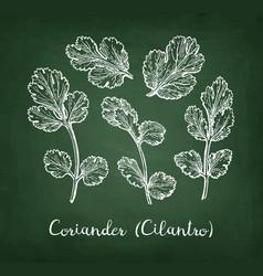 Coriander chalk sketch vector