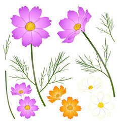 Pink white and yellow orange cosmos flower vector