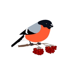 Bullfinch isolated on white background vector