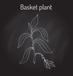 Basket plant callisia fragrans  medicinal plant vector