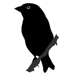 black silhouette of greenfinch vector image vector image