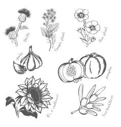 oil culturessunflower flower flax mustard garlic vector image vector image