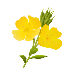 Yellow evening primrose sundrop suncup or vector