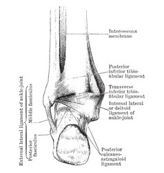 Ankle joint vintage vector