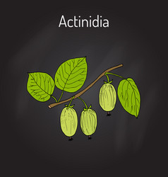 Actinidia kolomikta - medicinal and ornamental vector