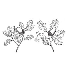 Branch of coastal sage scrub oak vintage vector