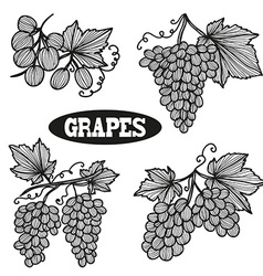 Hand drawn grapes vector