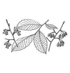 Branch of american elm vintage vector