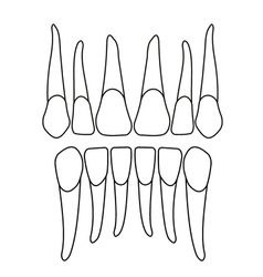 Front tooth on white vector