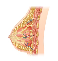 Human breast - cross section vector