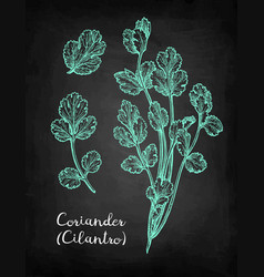 Coriander chalk sketch vector