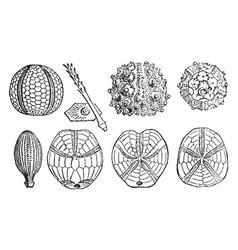 Sea urchin fossils vintage vector