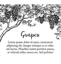 grapevine ink sketch vector image