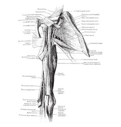 front view of shoulder muscles vintage vector image